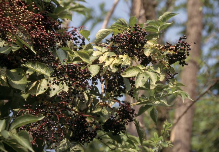 Elder or black elder (Sambucus nigra) berries, Adoxaceae. (Photo by DeAgostini/Getty Images)