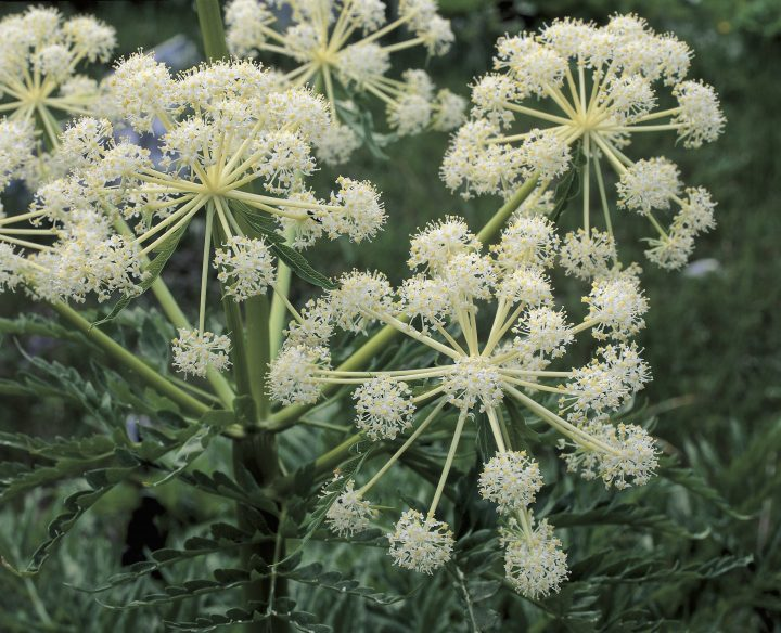 UNSPECIFIED - JUNE 06: Close-up of flowers on Northern water hemlock plant (Cicuta virosa) (Photo by DEA / D.DAGLI ORTI/De Agostini via Getty Images)