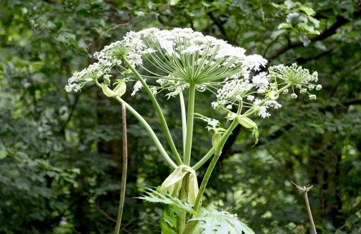 25 June 2018, Germany, Pohnsdorf : Picture of a giant hogweed (Heracleum mantegazzianum). The plant, which was first brought to Germany as an ornamental plant in the mid-19th century, has since grown wild fast. If the plant's sap touches the skin it can lead to severe burns and inflammations, while long exposure to the plant can produce difficulties in breathing and an acute bronchitis one to three weeks long. Photo: Carsten Rehder/dpa (Photo by Carsten Rehder/picture alliance via Getty Images)