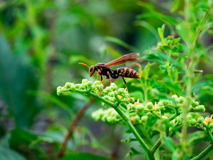 A Japanese paper wasp feeds from wildflowers beside a river in Kanagawa, Japan