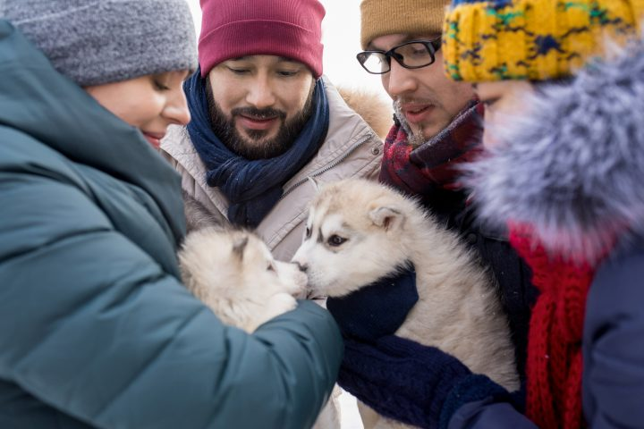 Group of young people playing with adorable husky puppies and enjoying nice winter day outdoors