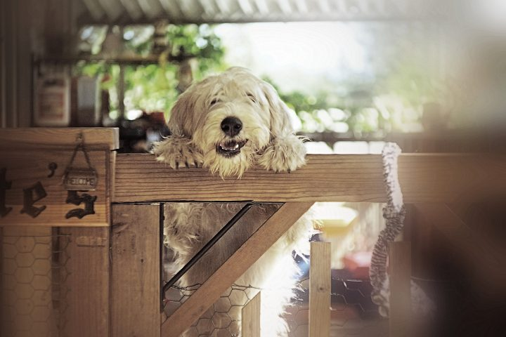 The Soft-coated Wheaten Terrier is a pure bred dog originating from Ireland. The four coat varieties are: Traditional Irish, Heavy Irish, English, and American. These dogs have a single coat which sheds very little hair, so they can be more easily tolerated by people allergic to other breeds