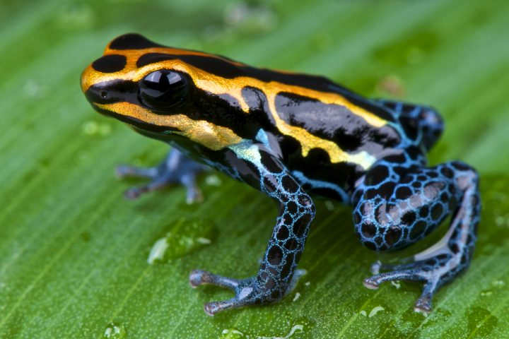 The Amazon dart frog is bright,colorful, frog species found across the Amazon in Brazil,Colombia,Peru and Ecuador.