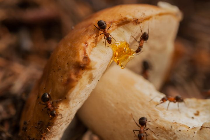 Ants - the most evolutionarily advanced family of insects in terms of ethology, ecology and physiology.