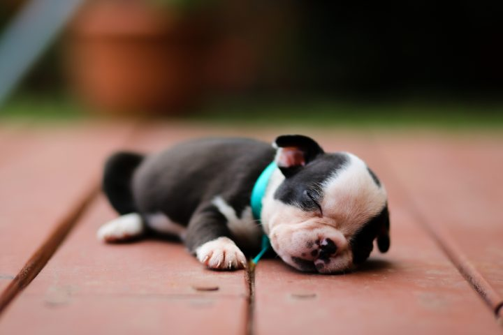 Boston Terrier puppy taking a nap out on the backyard.