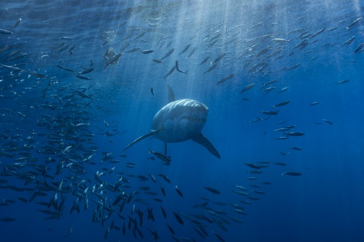A white shark swimming through a school of mackerel in the Pacific ocean