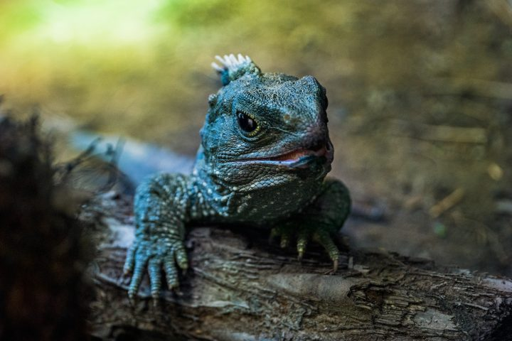 Portrait of tuatara reptile