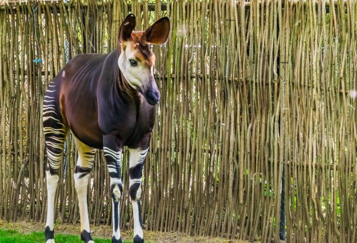 closeup of a okapi, tropical endangered giraffe specie from Congo, Africa