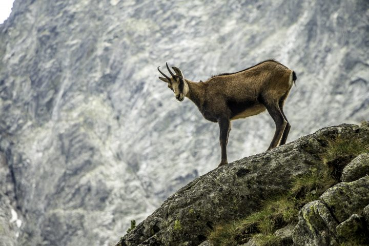 Wild goat standing at the edge of hill.