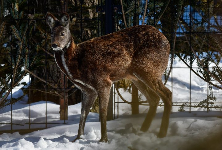 KHABAROVSK, RUSSIA - MARCH 14, 2017: A Siberian musk deer kept at the Priamursky Zoo named after Russian Far East writer Vsevolod Sysoyev (1911-2011). Yuri Smityuk/TASS (Photo by Yuri SmityukTASS via Getty Images)
