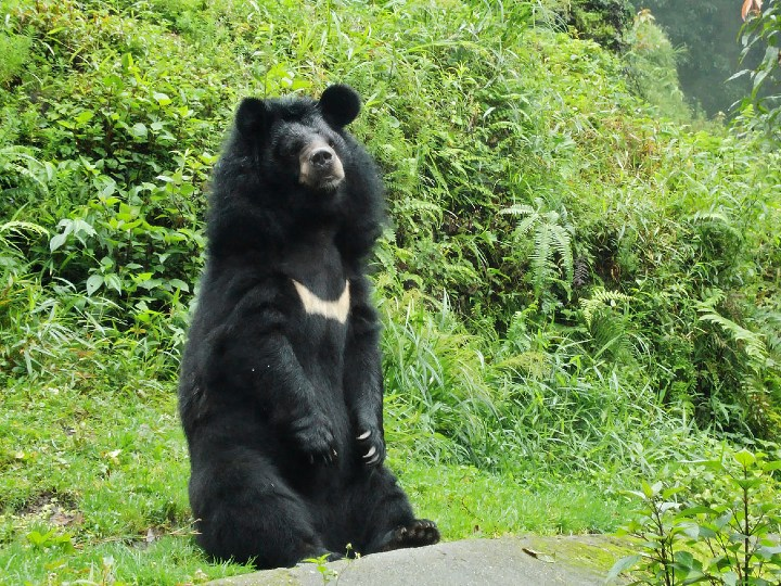 bear, Asian black bear, Asiatic black bear
