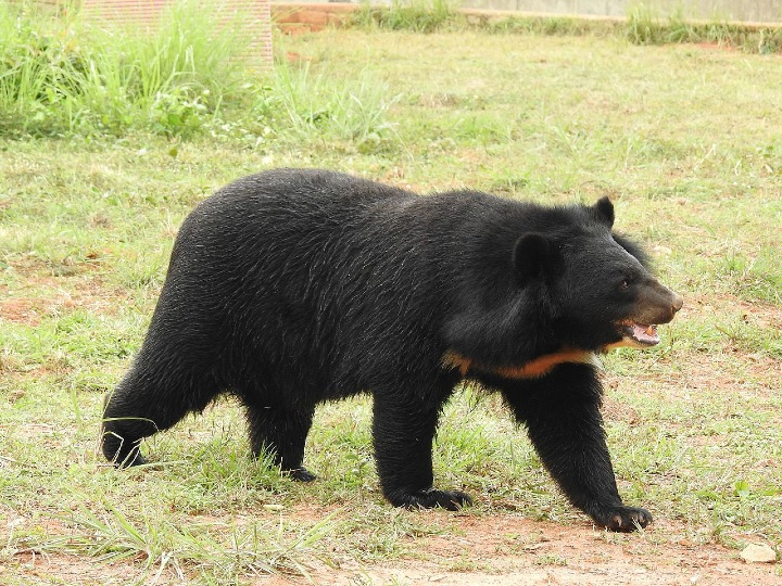 Asian black bear, Asiatic black bear, black bear