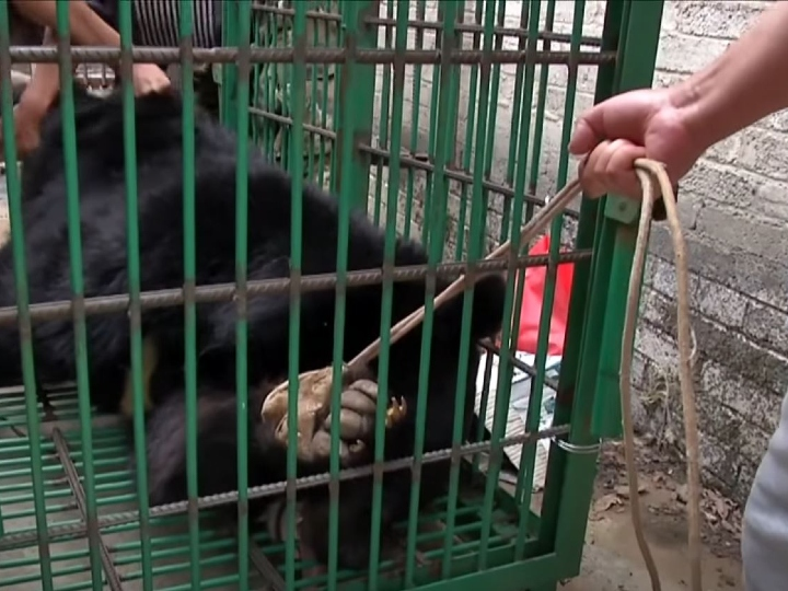 bear in cage, transporting a bear, trapped bear, tranquilized bear