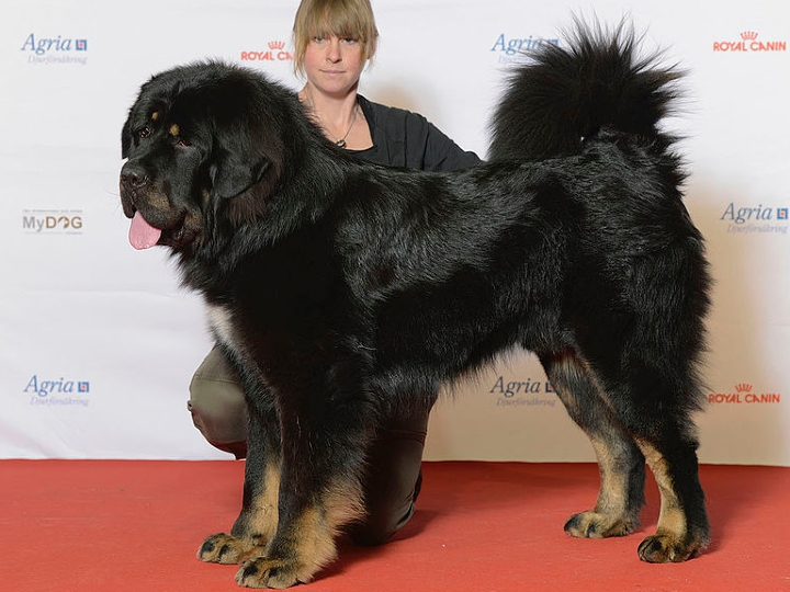 Tibetan Mastiff, big dog, large breed
