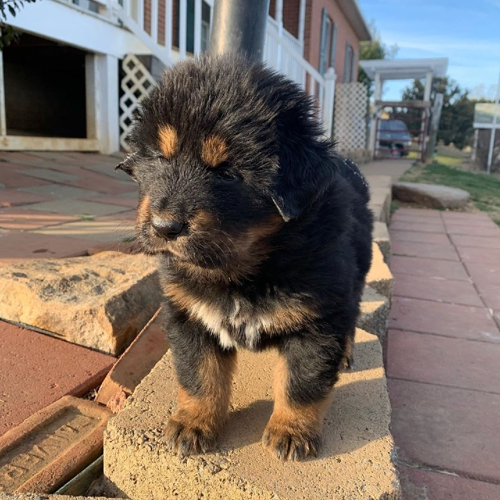 dog, puppy, Tibetan Mastiff, breed