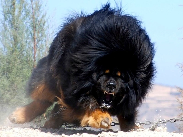 roar, run, scary, big dog